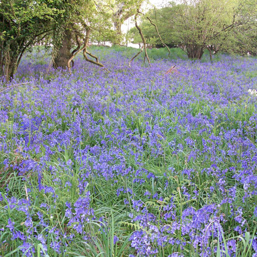 Enjoy your holiday at Gorwell Farm - our beautiful bluebell woodland